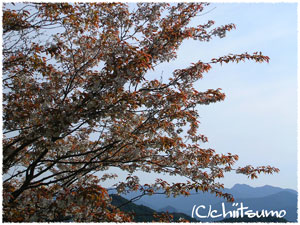 Nikon Coolpix3000で、今年はじめての桜の一枚目の画像