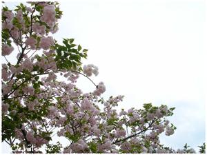 私の2007年の桜は、地面にも咲いていたの一枚目の画像