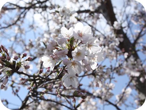 EOS KISS X2で初の桜の写真の一枚目の画像