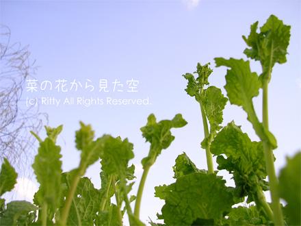 菜の花から見た空の一枚目の画像