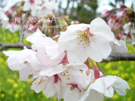 お花見の一枚目の画像