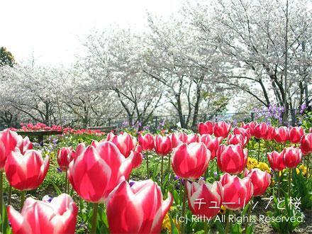 チューリップと桜の一枚目の画像