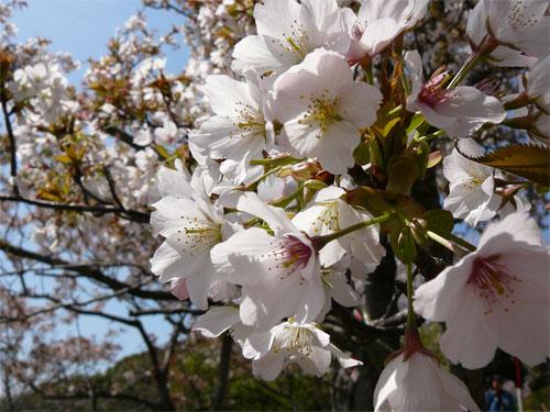 2010年のお花見と桜の写真の一枚目の画像