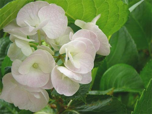 まんのう公園の紫陽花