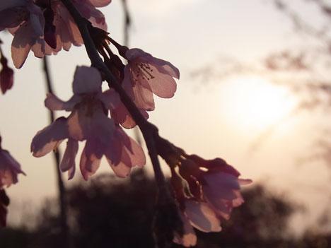 2011年3月の桜をRICOH CX3で撮影の参考画像