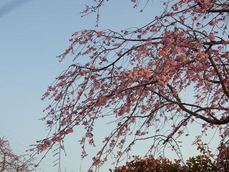 夕日を背景にした桜