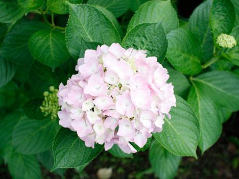 デジイチで、紫陽花のピンクを撮影するための試行錯誤の参考画像