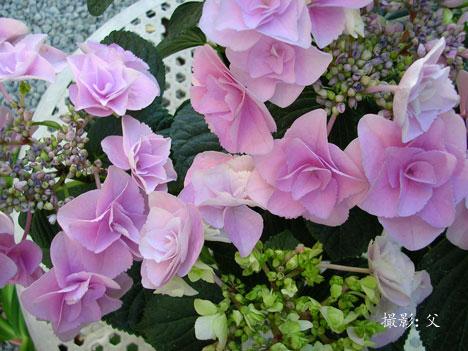 昨年の母の日に贈った鉢植えのアジサイ「フェアリーアイ」