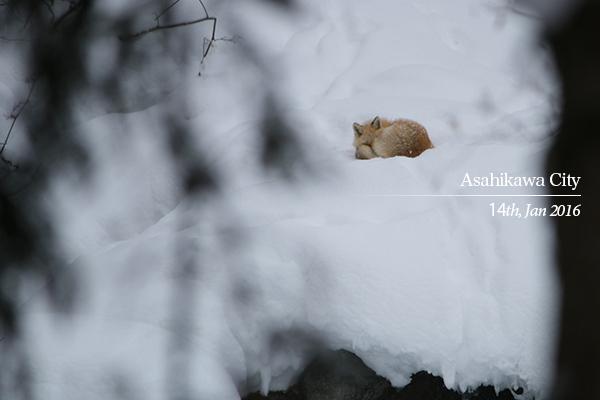 旭川市内で撮影したキタキツネ