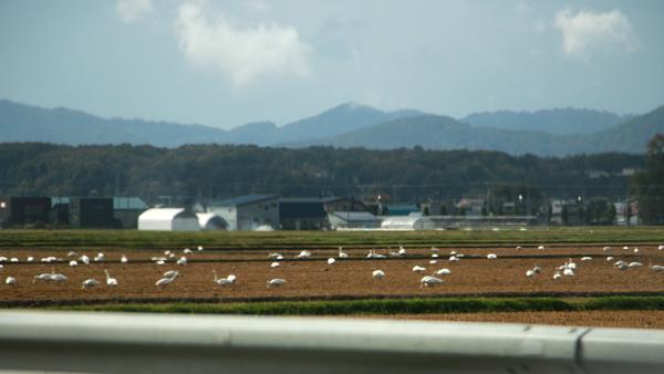 収穫後の畑で過ごす白鳥